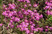 Centaurium erythraea 0164 (*)