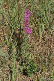 Lythrum salicaria 0911 (*)