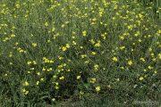 Diplotaxis tenuifolia 0944 (*)