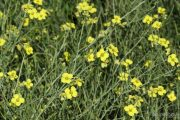 Diplotaxis tenuifolia 0951 (*)