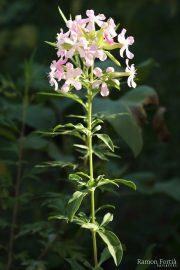 Saponaria officinalis 0530 (*)