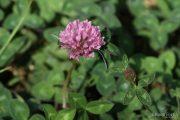 Trifolium pratense 1274 (*)