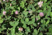 Trifolium pratense 1304 (*)