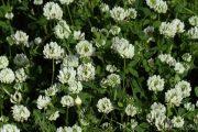 Trifolium nigrescens 8921 (*)