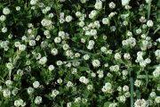 Trifolium nigrescens 8934 (*)