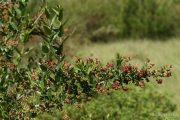 Coriaria myrtifolia 9485 (*)
