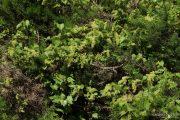 Vitis vinifera 9430 (*)