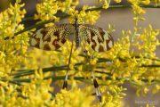 Nemoptera bipennis 9627 (**)