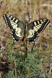 Papilio machaon 9599 (**)
