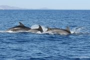 Tursiops truncatus 6672 (***)