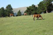 Prat amb cavalls 8995 (**)