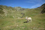 Vaca al refugi Joaquim Folch 9060 (**)