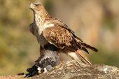 Aquila fasciata 8383 (****)