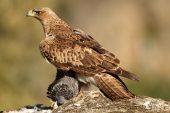 Aquila fasciata 8407 (****)