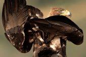 Aquila chrysaetos 6360 (****)