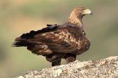 Aquila chrysaetos 6399 (****)