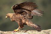 Aquila chrysaetos 6835 (****)