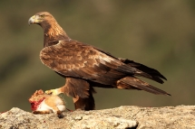 Àguila daurada (Aquila chrysaetos)