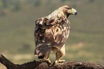 Àguila imperial ibèrica (Aquila adalberti)