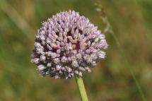 Allium ampeloprasum 9924 (*)