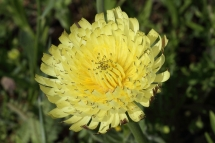 Urospermum dalechampii 8905 (*)