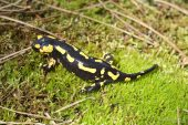 Salamandra salamandra 7732