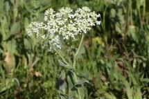 Bàbol (Lepidium draba)