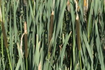 Typha latifolia 0015 (*)