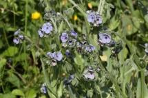 Cynoglossum creticum 8893 (*)