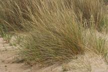 Ammophila arenaria 4114 (*)