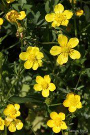 Ranunculus sardous 1965 (*)