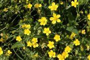 Ranunculus sardous 1966 (*)