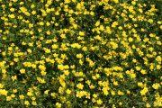 Ranunculus sardous 1971 (*)