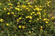 Ranunculus sardous 1977 (*)