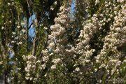 Erica arborea 1650 (*)