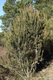 Erica arborea 3279 (*)