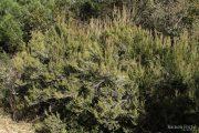 Erica arborea 3291 (*)