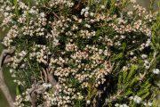 Erica arborea 7568 (*)
