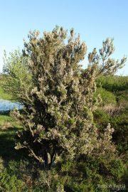 Erica arborea 7585 (*)