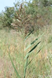 Phragmites australis 1236 (*)