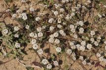 Caps blancs (Alyssum maritimum)