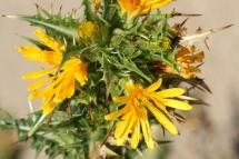 Scolymus hispanicus 0208 (*)