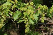 Vitis vinifera 9426 (*)