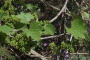 Vitis vinifera 9433 (*)