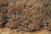 Arthrocnemum fruticosum 0065 (*)