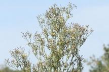 Conyza sumatrensis 1250 (*)