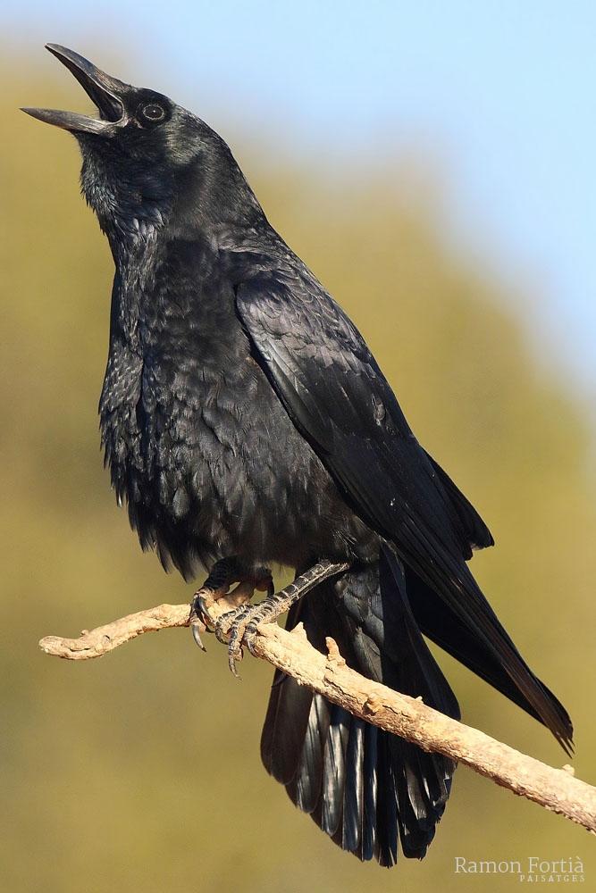 Corvus corone 4070 (**)