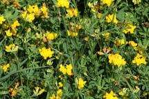 Peu de pardal (Lotus cornicolatus)