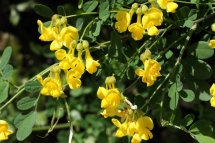 Coronilla emerus 9063 (*)