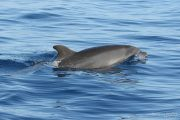Tursiops truncatus 6530 (***)